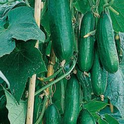Acheter plants de potager en magasin ou sur coclicoh - Acheter plant de patate douce ...