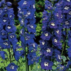 Delphinium Magic Fontains Dark Blue/White
