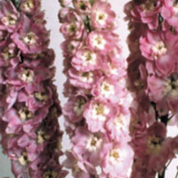 Delphinium Magic Fontains Pink/White