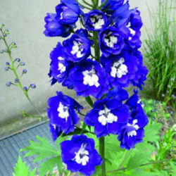 Delphinium Magic Fontains Sky Blue/White