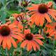 Echinacea Purpurea Julia