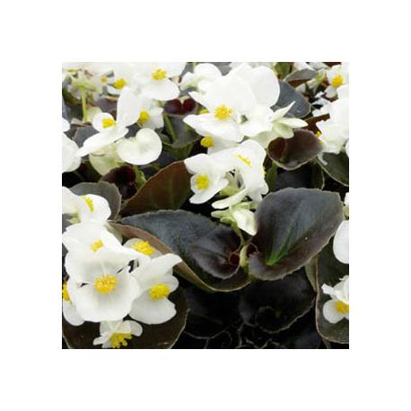 Begonia Massif Ascot Bronze White
