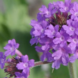 Verveine Venosa Deep Lilac