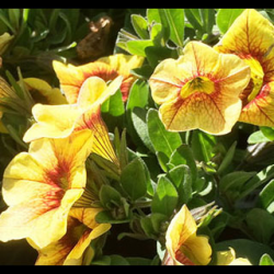 Calibrachoa Aloha Kona Pineapple 2016