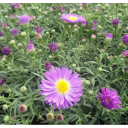 Aster Astral Himalia