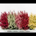 4 Bruyères Calluna Coloris Mélangés