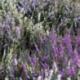 Bruyère Calluna Garden Twingirls Bicolore