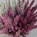 Bruyère Calluna Tricolore