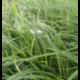 Carex Morrowii Ice Dance