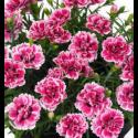 Dianthus Sunflor Esta