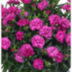 Dianthus Sunflor Faganza