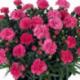 Dianthus Sunflor Vivre