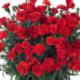 Dianthus Sunflor Vulcano