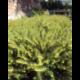 Bruyère Erica Darleyensis vert