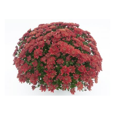 Chrysanthème Compact Youpi Rouge