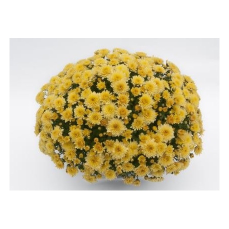Chrysanthème Compact Youpi Vanille