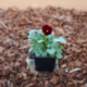 Pensée Viola Callisto f1 rouge à macules