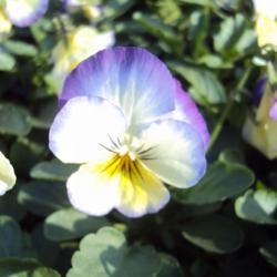 Pensée Viola Callisto f1 jaune et bleu picoté