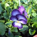 Pensée Viola Ultima radiance violet picot