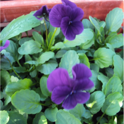 Pensée Viola Sorbet xp violet