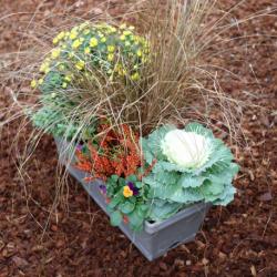 Jardinière Chrysanthème, Carex, Calluna, Pensée, Choux