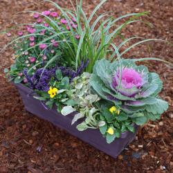 Jardinière Chrysanthème, Calluna, Acorus, Pensée, Ajuga Reptans, Choux