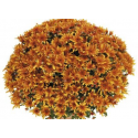 Chrysanthème Compact Ariba Orange