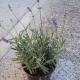lavande angustifolia hidcote