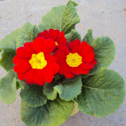 Primula Rambo Late Mix Rouge