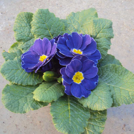 Primula Rambo Late Mix Bleu