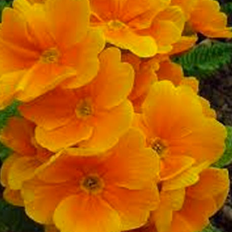 Primula Rambo Late Mix Orange