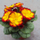 Primula Rambo Late Mix Elcora Red