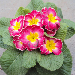 Primula Rambo Late Mix Elcora Rose