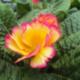 Primula Vulgaris Scentsation Yellow Cream