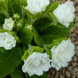 Primula Rubens (Double) Blanc