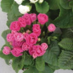 Primula Rubens (Double) Rose