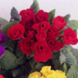 Primula Rubens (Double) Rouge