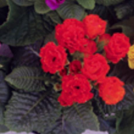Primula Rubens (Double) Orange
