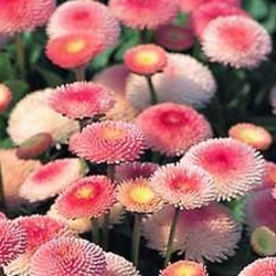 Paquerette Bellis Perennis 'Tasso Pink'