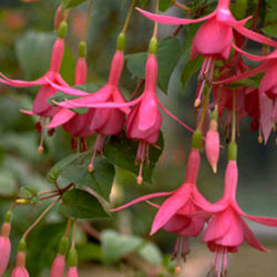 Fuchsia Retombant Jack Shahan