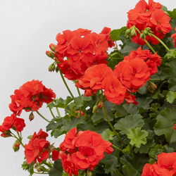 Geranium lierre double polly orange