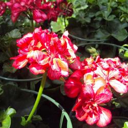 Geranium lierre Toscana Chris
