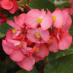 Begonia Mega Watt Rose Green Leaves
