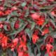 Begonia Retombant Summerwings Dk Elegance