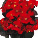 Begonia Semperflorens Mascotte Scarlet Improved