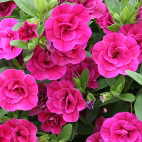 Calibrachoa Hybrida Double Rose