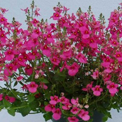 Diascia Barberae Flying Colors Dala Ros08