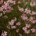 Gaura Lindheimeri Geyser Pink Gaudros