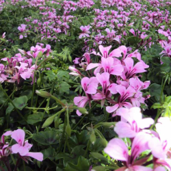 Geranium Lierre Simple Mauve Basky