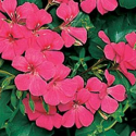 Geranium Lierre Blizzard Pink Fim